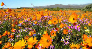 Desiertos floridos: Namaqualand, Sudáfrica. Author and Copyright: Marco Ramerini