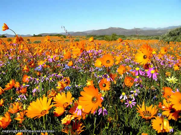 Desiertos floridos: Namaqualand, Sudáfrica. Author and Copyright: Marco Ramerini