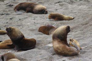 Lobos marinos, Punta Norte, Península Valdés, Argentina. Autor y Copyright Marco Ramerini