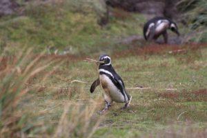 Pingüinos, Gipsy Cove, Islas Malvinas. Autor y Copyright Marco Ramerini