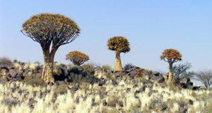 Kokerboom (Aloe dichotoma), Namibia. Autor y Copyright Marco Ramerini