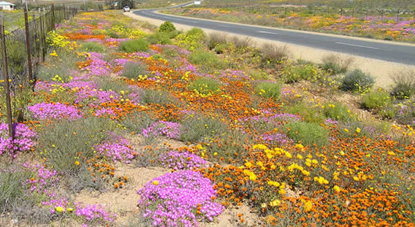 El desierto florido de Sudáfrica. Namaqualand, Sudáfrica. Autor y Copyright Marco Ramerini.