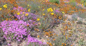 Namaqualand, Sudáfrica. Autor y Copyright Marco Ramerini.