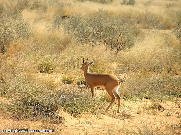Steenbok, Kgalagadi Transfrontier Park, Sudáfrica. Autor y Copyright Marco Ramerini.