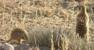 Suricatas, Kgalagadi Transfrontier Park, Sudáfrica. Autor y Copyright Marco Ramerini