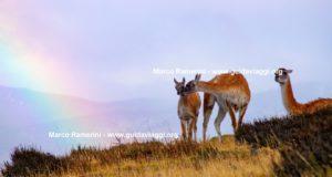 Guanacos, Parque Nacional Torres del Paine, Chile. Autor y Derechos de Autor Marco Ramerini